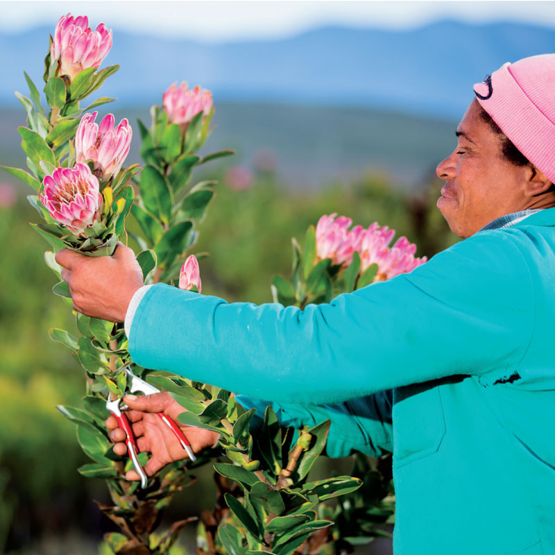 Picking-fynbos-with-care
